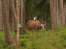 Buffalo in a coconut plantation