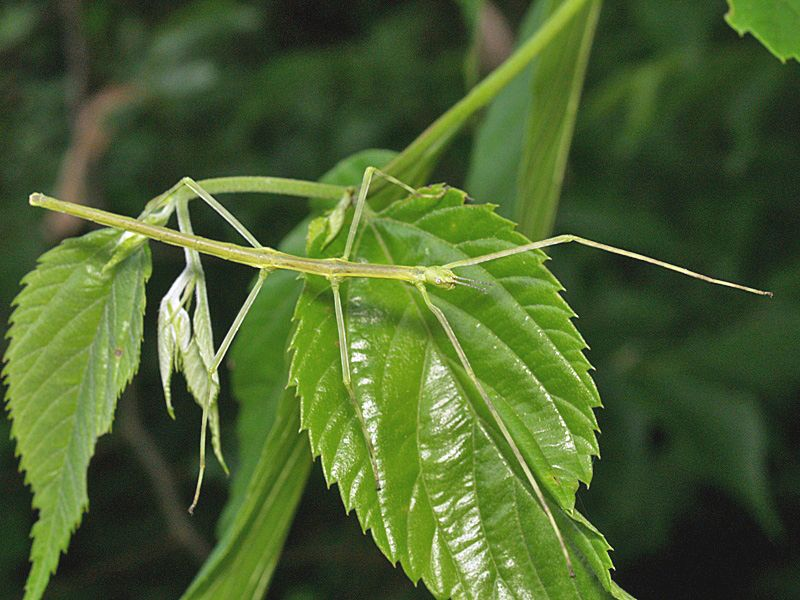 stick insects google search